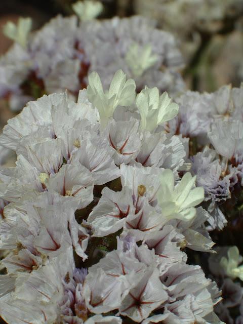 Limonium sinuatum