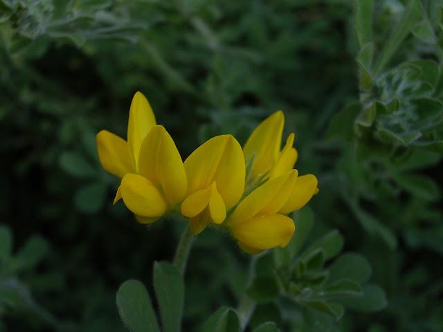 Lotus hillebrandii