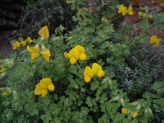 Lotus callis-viridis