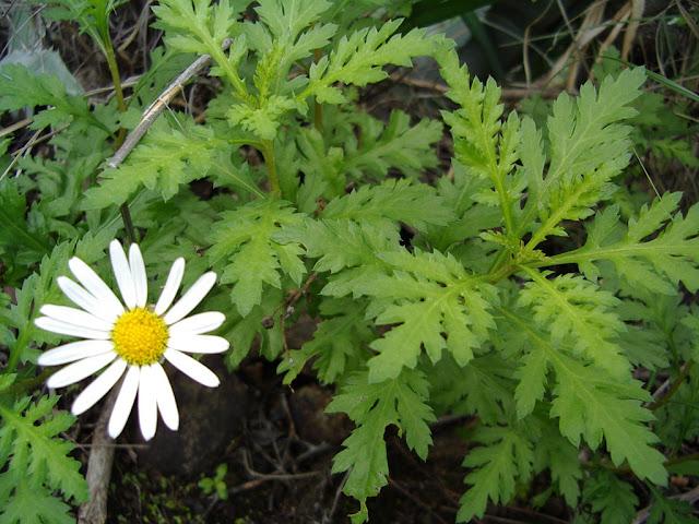 Argyranthemum lidii
