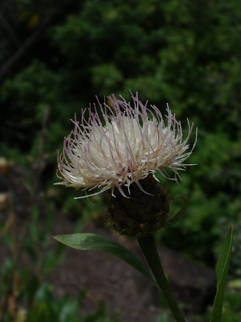 Cheirolophus duranii JBVC