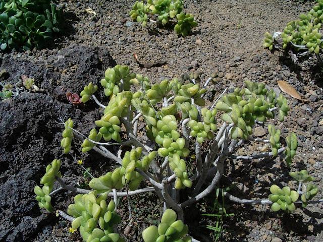 Aeonium lindleyi subsp. lindleyi 01