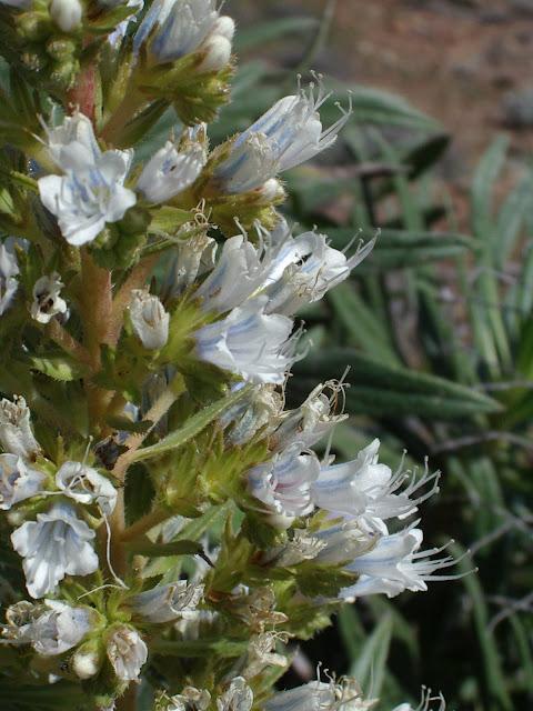 Echium decaisnei subsp. decaisnei x onosmifolium subsp. onosmifolium