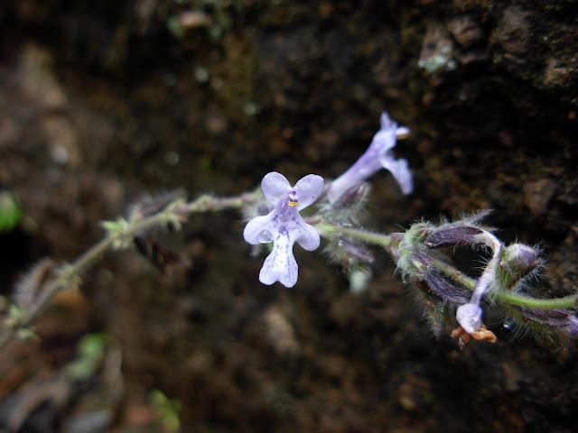 Pleudia herbanica (JBVC)