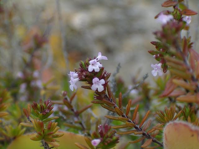 Micromeria canariensis subsp. canariensis 01