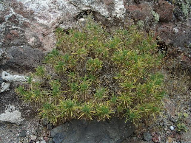Plantago famarae (Riscos de Famara, Lanzarote)