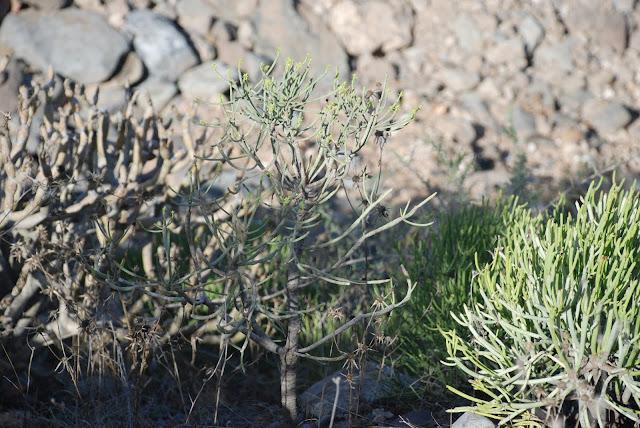 Euphorbia x marreroi 03