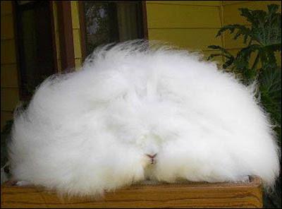 Huge And Furry Rabbit