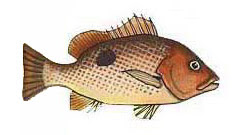 Fingermark bream / Lutjanus johnii