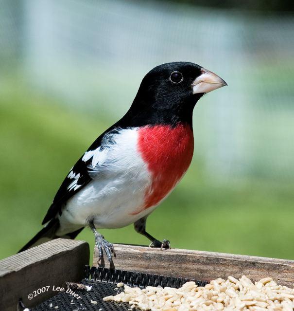 Black White Bird Red Throat 23