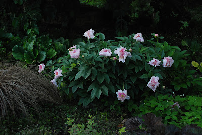 Paeonia 'Do Tell'