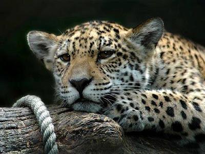 fotografia de leopardo deprimido