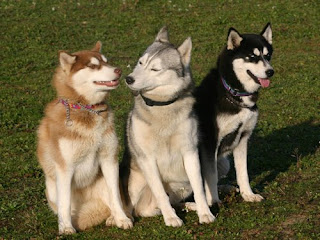 Siberian Husky Coat And Color