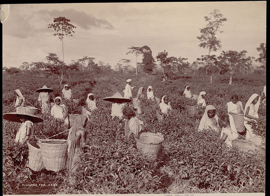 Assamese Women in Costume, Picking Tea Leaves