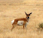 Photograph of Pronghorn Antelope by Darla Sue Dollman