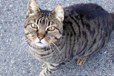 tabby cat in Marbella, Spain