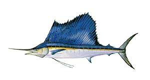 Benih Ikan Ku Macam Macam Jenis Ikan Marlin