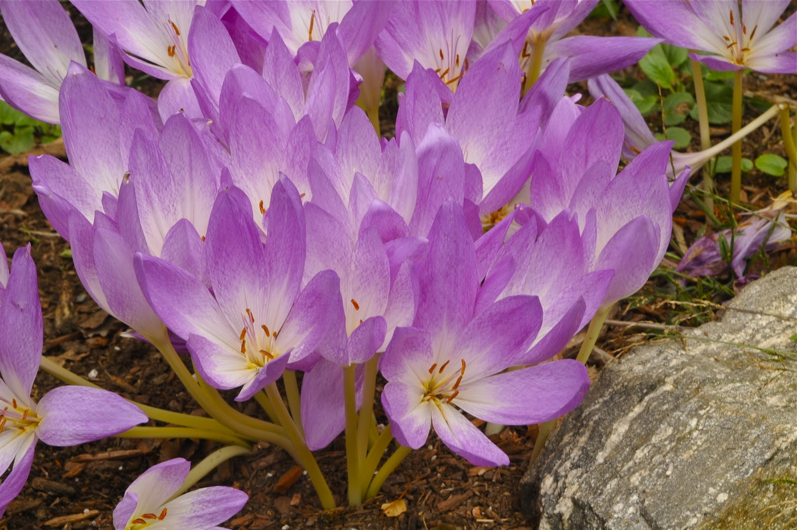 aaf1c3ee5bf1 Growing with plants  Colchicum or Autumn Crocus  What should you plant
