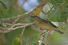 Which female wood-warbler species is shown here during the spring?