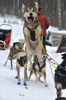 Bark River Racing Sled Dogs