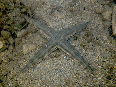 Sand-sifting Sea Star (Archaster typicus)