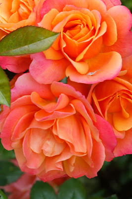 Ivy Leaves & Flame Trees: Lanterns or roses?   Orange And Pink Roses