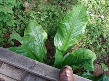 invasive:  skunk cabbage