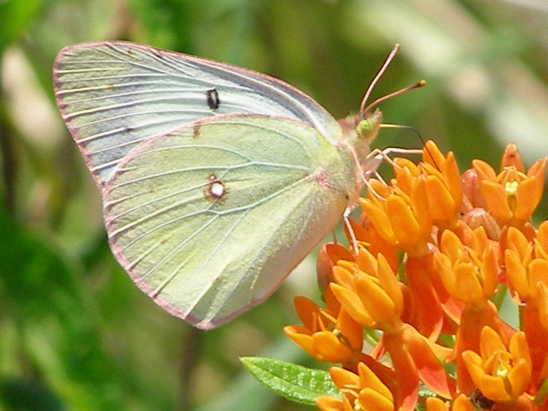 Cloudless Sulphur Butterfly, facts, size, photos ... |Clouded Sulphur Butterfly