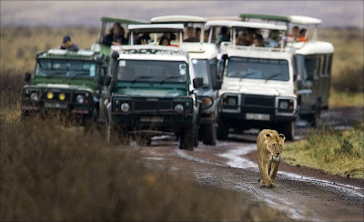 lion-followed-by-many-cars-in-jungle-safari