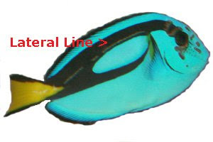 Blue Tang with Lateral Line erosion