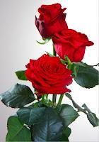 gambar bunga mawar merah prestige