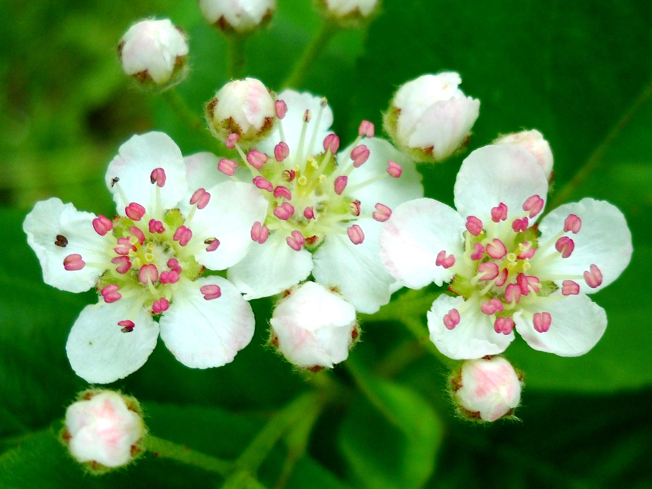 Hawthorn Blossom Flower Wallpaper: My Nature Photography: Hawthorn Flowers