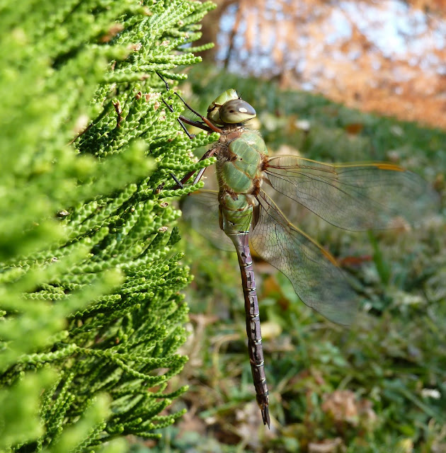 Common Green Darner in Brooklyn Botanic Japanese Garden
