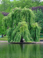 willow tree - For the Love of Trees....