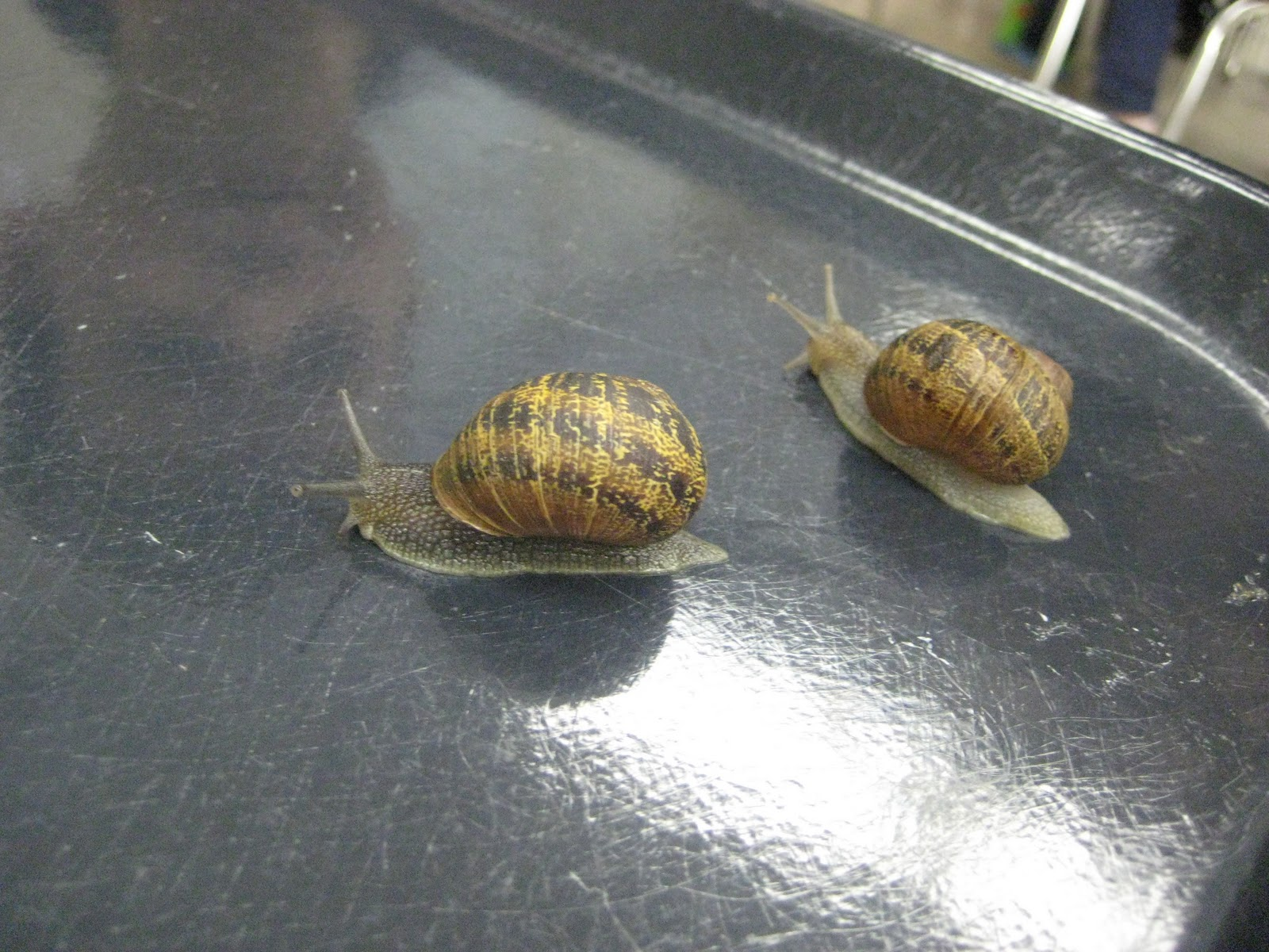 Finally In First Snail Olympics
