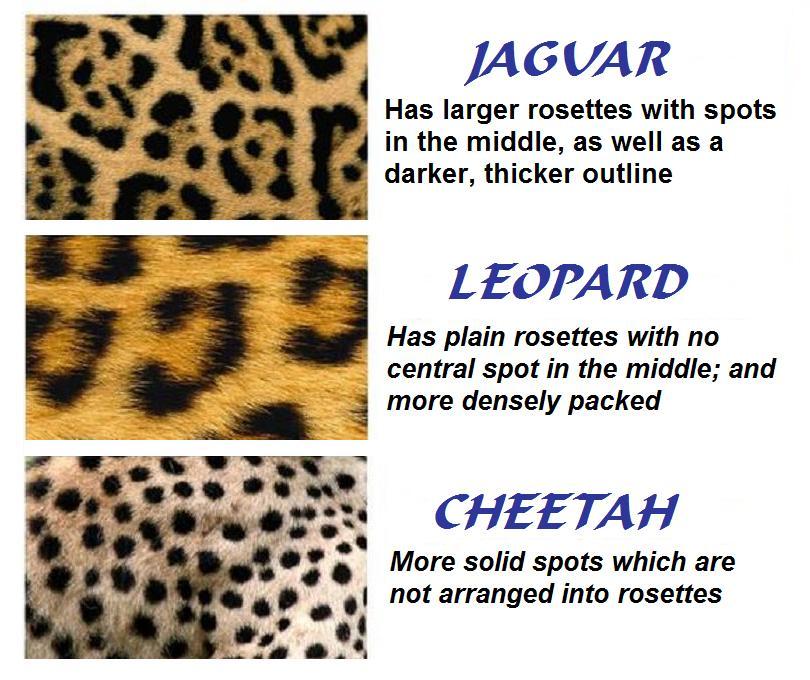 leopard and jaguar comparison - photo #4