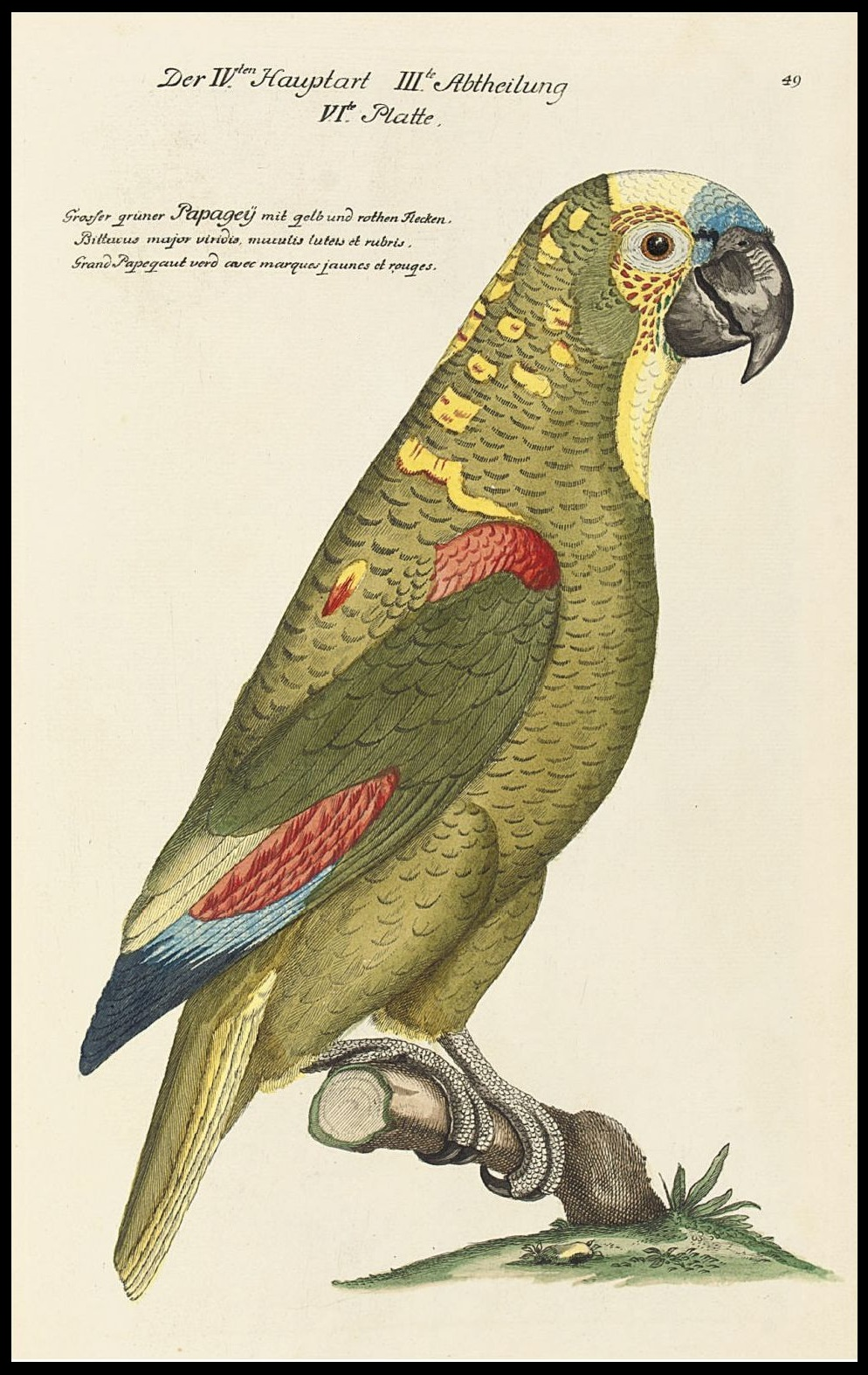 green parrot hand coloured engraving