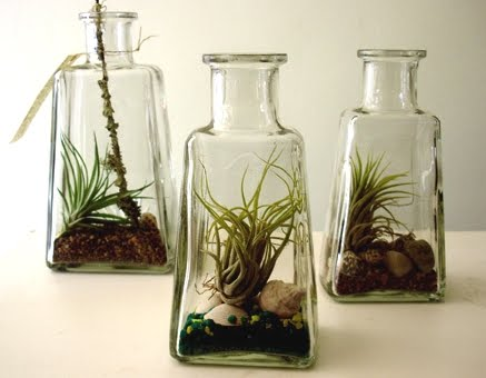 air plants in bottles