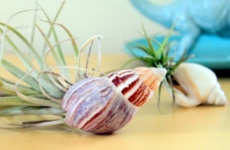 air plants in small shells