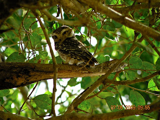 spotted owlet at Kanha
