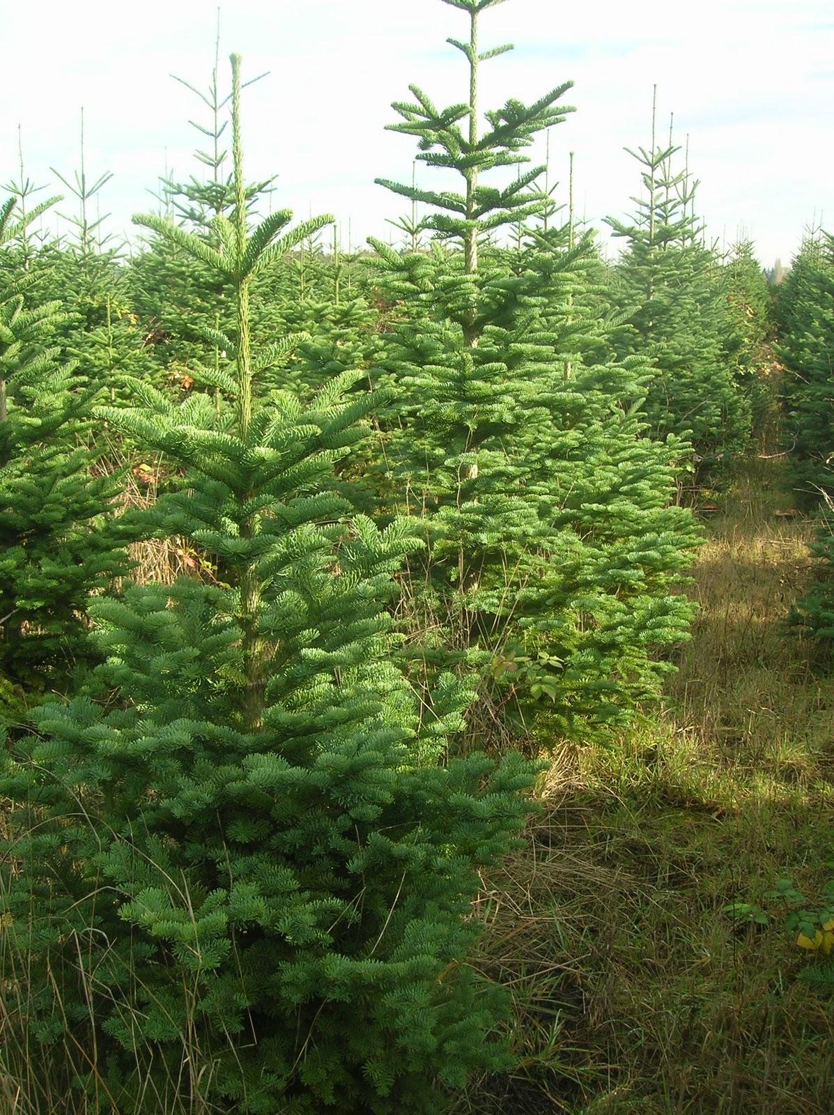 Naturally-Shaped Christmas Trees – Plant Something Oregon