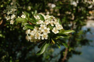A flor do Lis