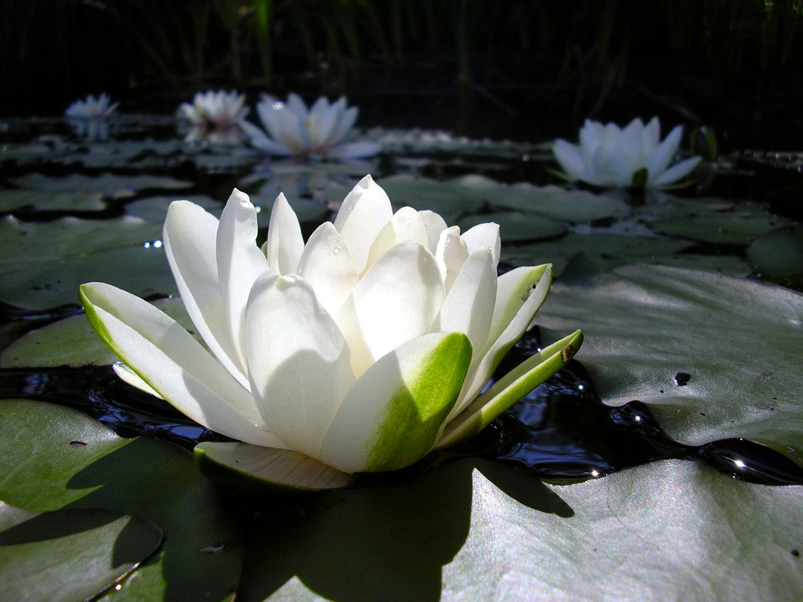 Flower Wallpaper Free: Lotus Flower Wallpaper