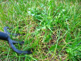 Mniszek czy mlecz - jak usuwać z trawnika bez herbicydów.