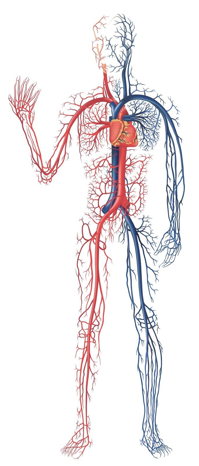 Digestive system of human body: Human Circulatory System ...