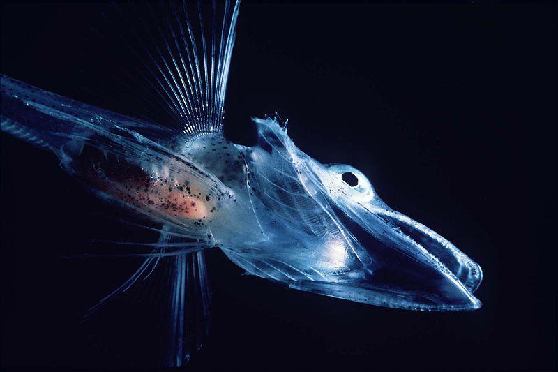 Avec pierrot le plancton devient enfin lisible for Poisson eau froide