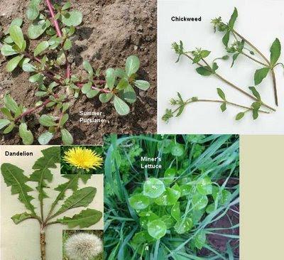 https://i1.wp.com/4.bp.blogspot.com/_rQy3kDiB8rU/SGPzje2RO0I/AAAAAAAAAJM/qfhMGpFS6nQ/s400/edible_weeds.jpg?resize=400%2C366