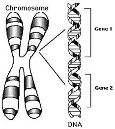 chromosome and gene relationship