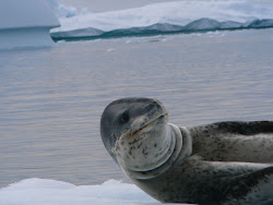 Disarming but Sinister Leopard Seal outside Yalour Islands