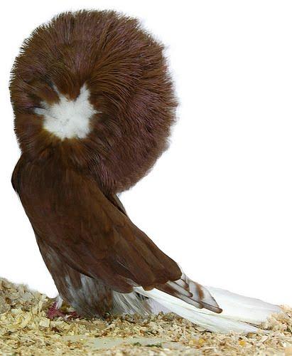 jacobin pigeon - photo #30